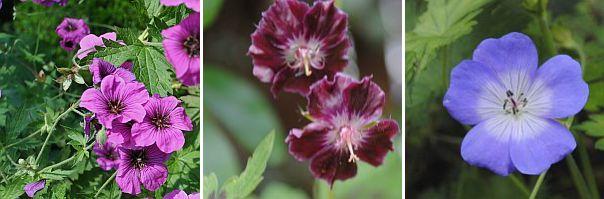 Geranium psilostemon, Geranium p. 'Samobor', Geranium Rozanne