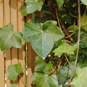 klimop, hedera English ivy