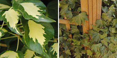 Hedera h. 'Goldheart' / Hedera h. 'Green Ripple'