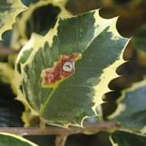 bruine vlek hulstblad
