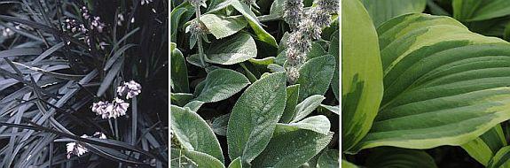 plantencombinatie Ophiopogon