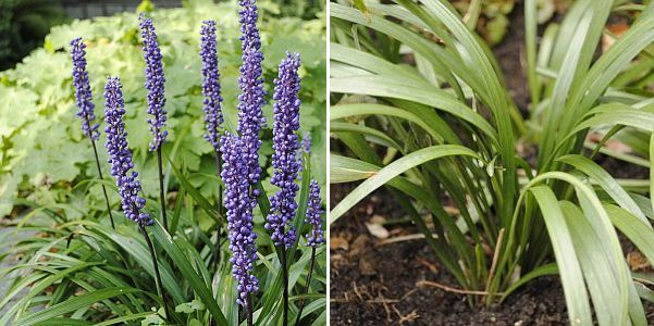 Liriope Muscari Big Blue Lilyturf Ground Cover Pruning