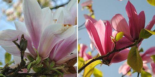 magnolia - magnolia snoeien, soorten, soulangeana, stellata,