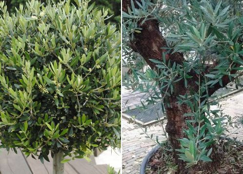 olive tree with a small trunk circumference