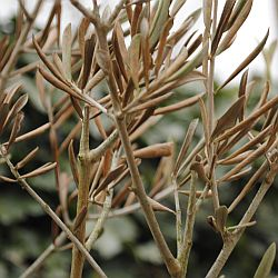 bruin blad olijfboom
