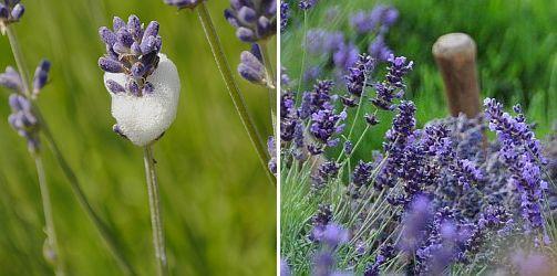 schuimcicade op lavendel