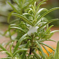 schuimcicade op rozemarijn