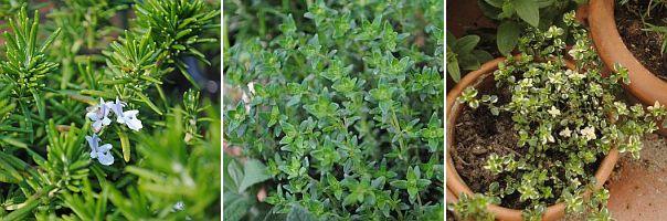 kruipende rozemarijn, thymus vulgaris, thymus citriodorus