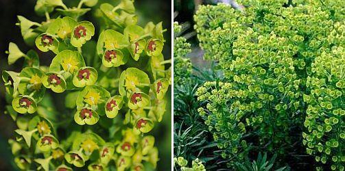 euphorbia characias s. wulfenii