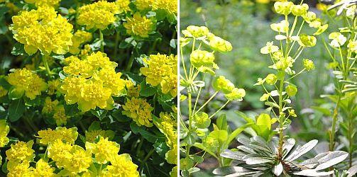 euphorbia polychroma, Euphorbia a. robbia