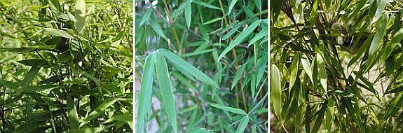 Fargesia murieliae, Fargesia 'Jiuzhaigou1, Fargesia robusta'