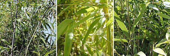 phyllostachys nigra, phyllostachys spectabilis, Pseudosasa japonica