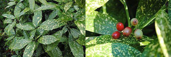 Aucuba japonica 'Variëgata' Aucuba japonica 'Variëgata'