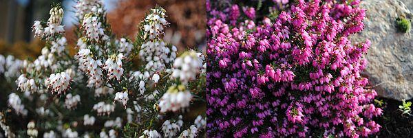 Erica carnea f. alba 'Whitehall' / Erica x darleyensis