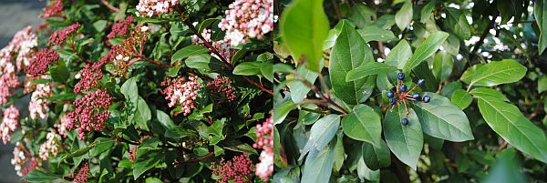 Viburnum tinus 'Gwenllian' / Viburnum tinus 'Gwenllian'