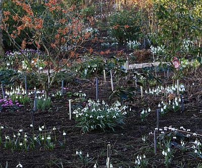 Frühling, Sammlergarten, Schneeglöckchen, Galanthus, Frühlings-Alpenveilchen, Cyclamen coum, Gehölze,