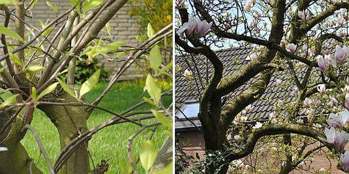 gesnoeide magnolia