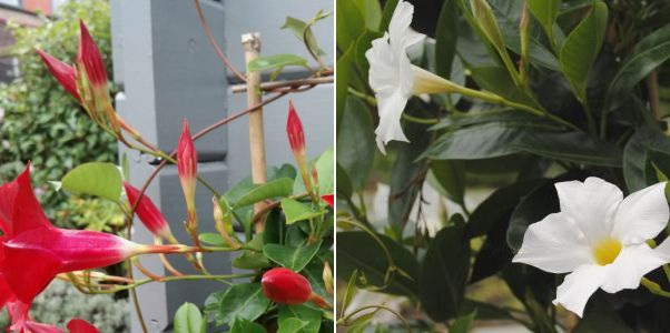 Sundaville bloemen en knoppen