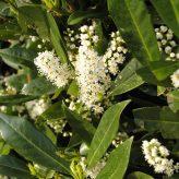 Prunus lauricerasus Otto Luyken