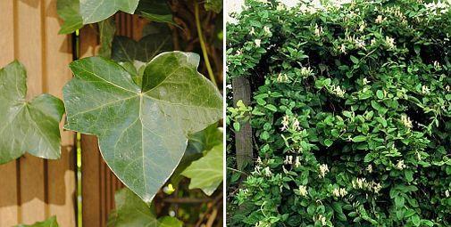 Groenblijvende klimplanten voor schutting