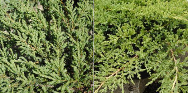 Juniperus horizomtalis