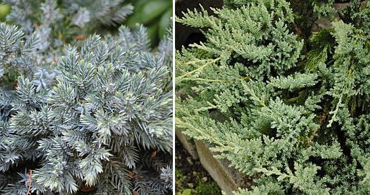 bodembedekkende coniferen