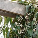 groenblijvende klimplant/ clematis armandii