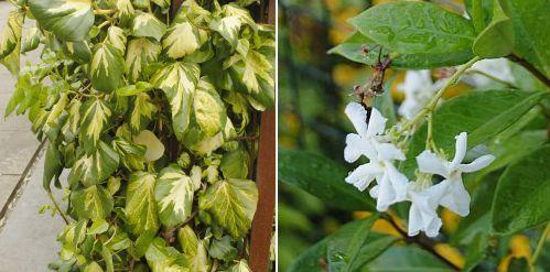 Hedera colchica Sulphur, Trachelospermum jasminoides