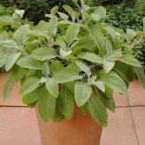 salvia officinalis ( keukensalie)