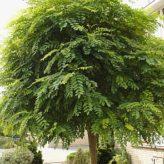 Bolacacia Robinia p. 'Umbraculifera'