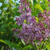 Sering (Syringa vulgaris)