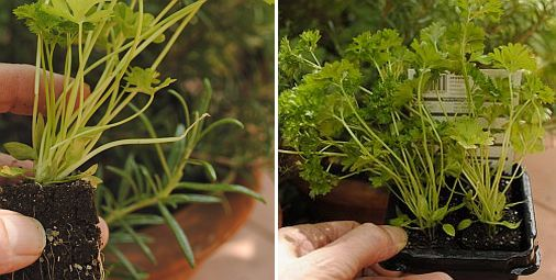 jonge peterselieplanten