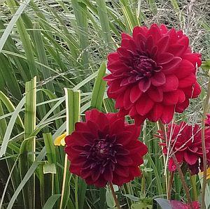 Decoratieve Dahlia (rood)