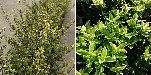 Ilex crenata 'Dark Green' / Euonymus j.'Green Rocket'