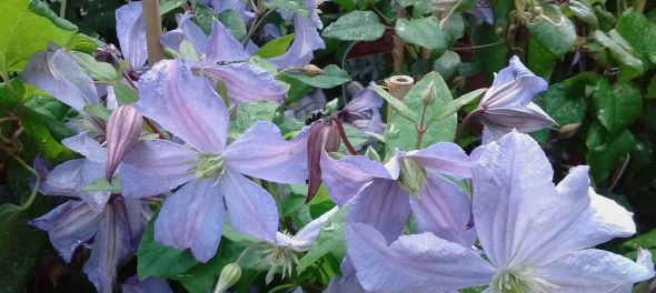 Clematis Prince Charles in bloei