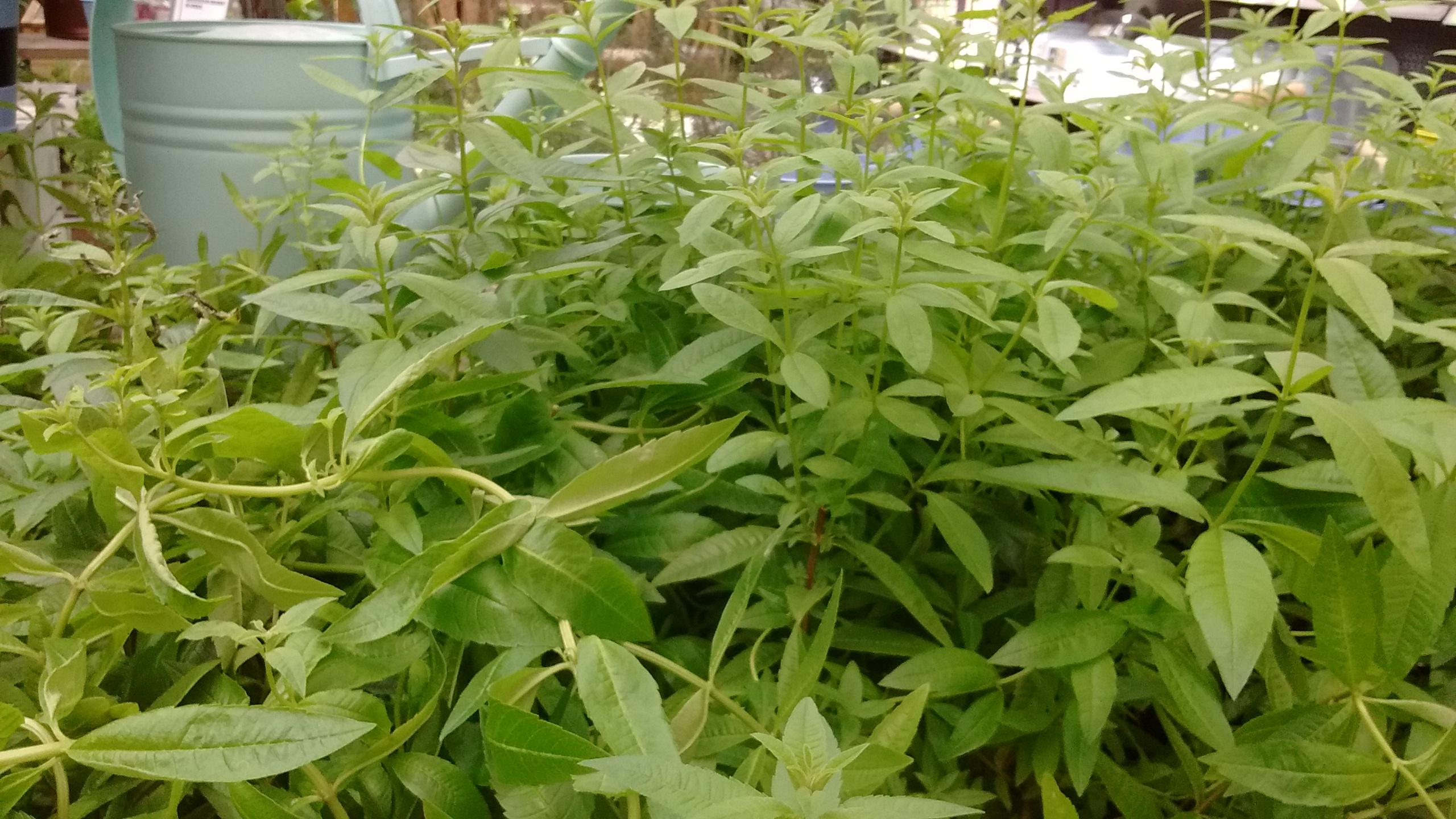 Aloysia atriphylla