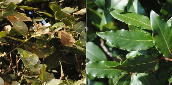 Bay leaves damaged by forst