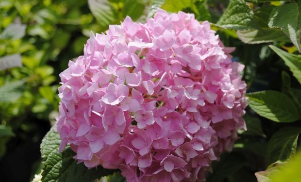 Hydrangea macrophylla 'Endless Summer