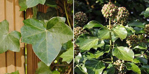 Juvenile ivy plant, mature ivy plant