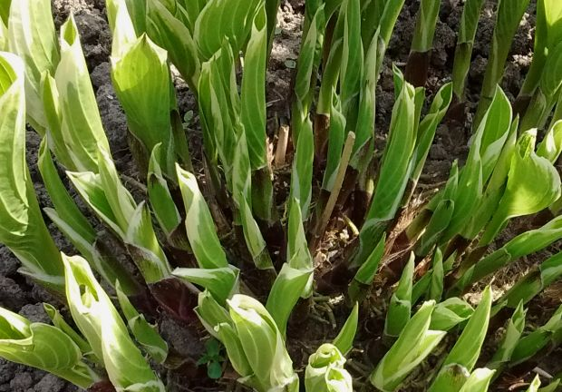 jonge scheuten Hosta, young shoots Hosta