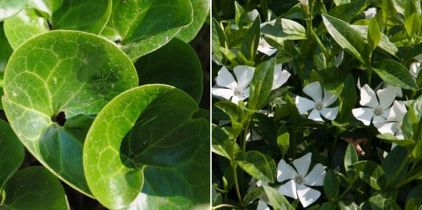 Asareum , Vinca minor Alba