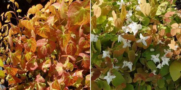 Epimedium x rubrum, Epimedium x youngianum Niveum