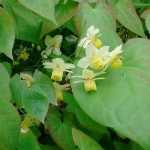 Epimedium xversicolor 'Sulphureum' (Elfenbloem)