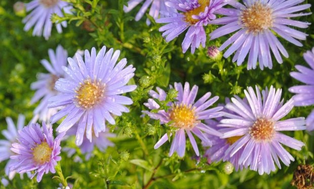 Aster ageratiodes 'Asran'
