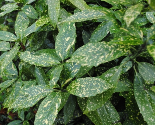 Aucuba japonica 'Variëgata'