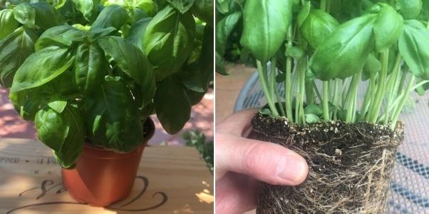 Basilicum in een pot