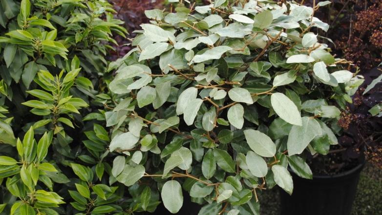 Elaeagnus ebbingei op stam