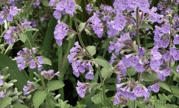 Nepeta racemosa 'Walker's Low'