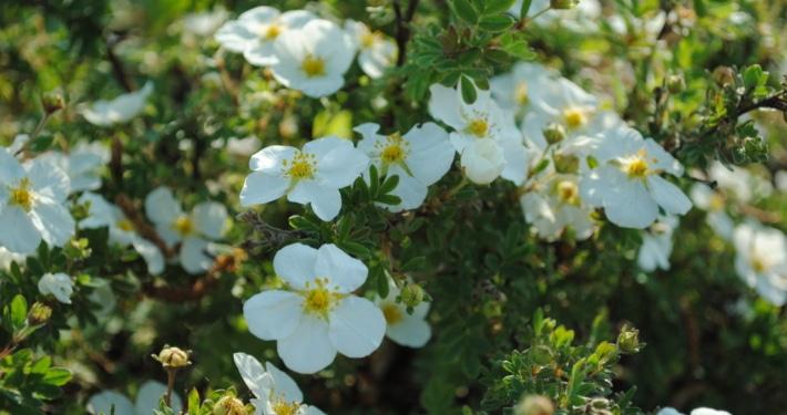 Potentilla fruticosa 'Abbotswood'
