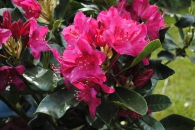 Rhododendron c. 'Nova Zembla'